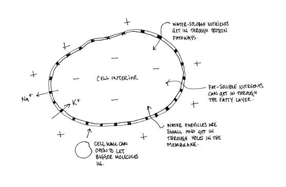 cell membrane permeability sketch
