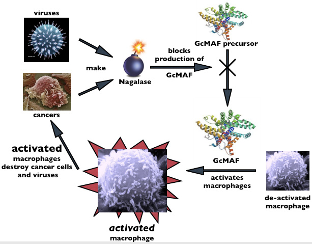 Gcmaf The Latest Discovery In Natural Cancer Treatments