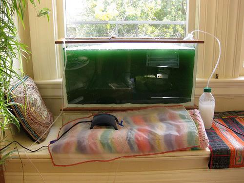 grow spirulina at home