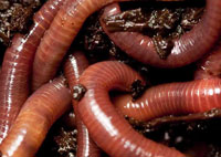 vermicomposting, worms remove toxic metals from soil
