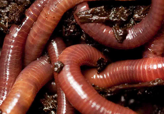 worms remove toxic metals, image